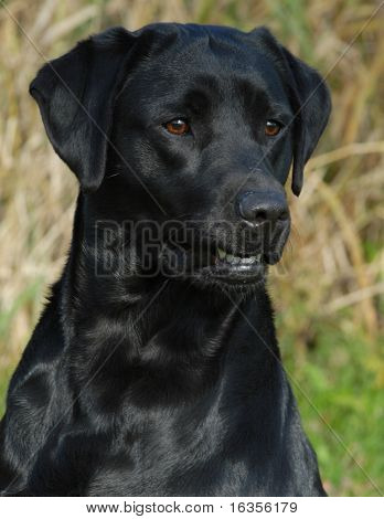 head shot of black labrador retriever working out in the field