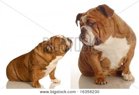 puppy love - two english bulldogs reaching out for affection isolated on white background