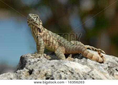Yellow Curlytail Lizard from Cuba sitting on a rock