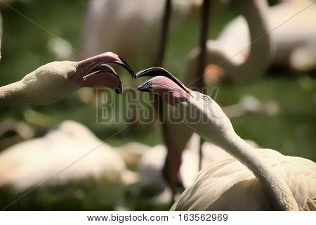 A pair of greater flamingos (Phoenicopterus roseus) apparently kissing.