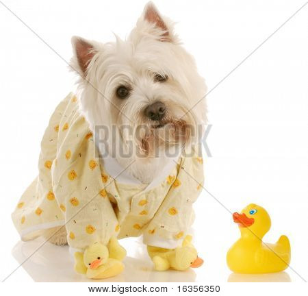west highland white terrier wearing duckie jammies and slippers
