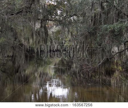 Spanish moss hanging from Cypress trees in the swamps of Louisiana