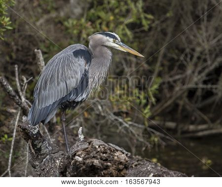 Heron standing on a log in the bayous of Louisiana