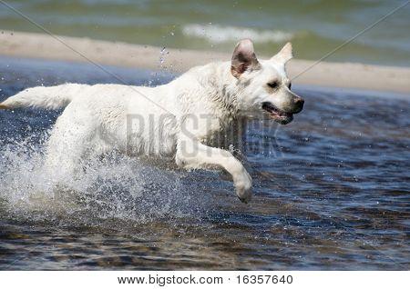 Labrador retriever in action