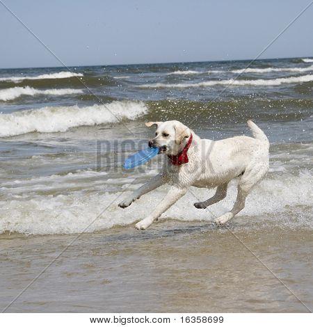 Labrador Retriever Playing with plastic disc.