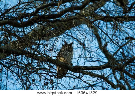 A Long-eared Owl perches in a winter tree.