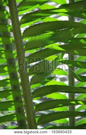 Vertical image of tropical fern with healthy,lush foliage.