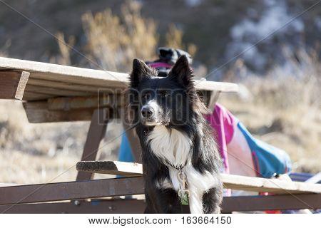 a splendid specimen of Border collie (a herding dog breed)