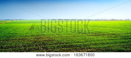 Field of green winter crops and clear sky