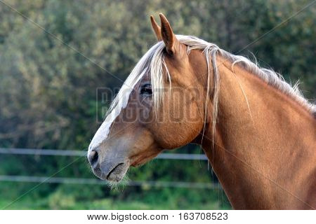 Purebred hot blooded saddle horse standing in the corral rural scene summertime. Side view portrait of a purebred stallion