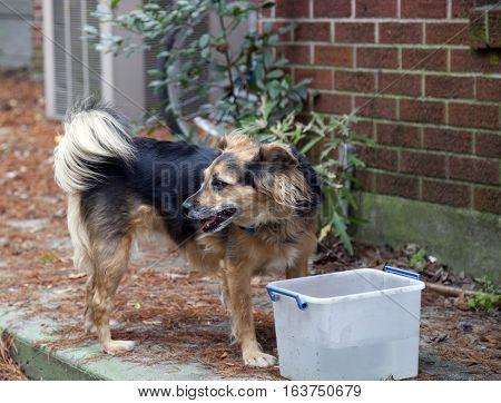Medium-size, German shepard dog at a water bucket