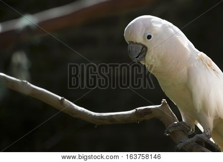 Salmon-crested cockatoo perched on a bare limb