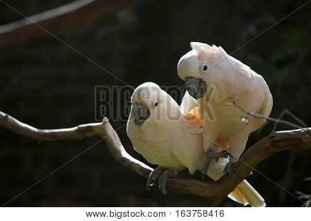 Two salmon-crested cockatoos perched on a bare limb