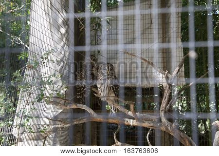 Two barred owls perched on a limb in a cage