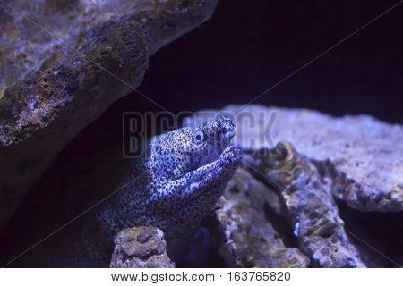Close up of a spotted moray eel (Gymnothorax moringa)