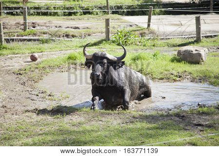 Cape buffalo (Syncerus caffer) cooling off in a mud hole