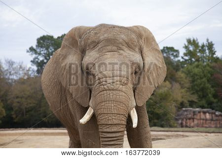 Close up of an African savanna elephant (Loxodonta africana africana)