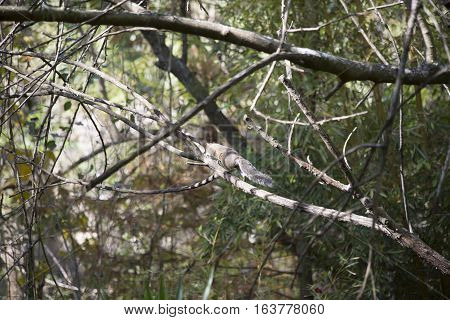Eastern gray squirrel in a bare tree
