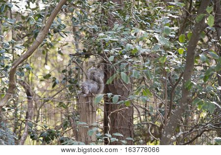 Eastern gray squirrel grooming on a fence