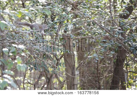 Eastern gray squirrel walking along a fence
