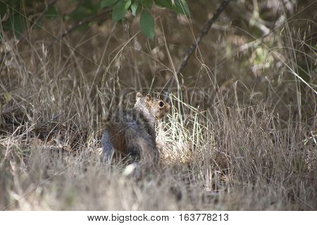 Lone Eastern gray squirrel in a field