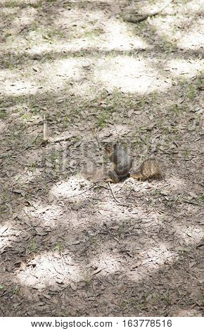 Squirrel retrieving a buried acorn from the dirt