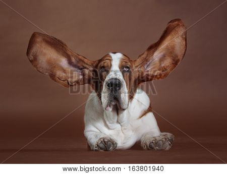 Happy brown and white basset hound dog in studio with the ears