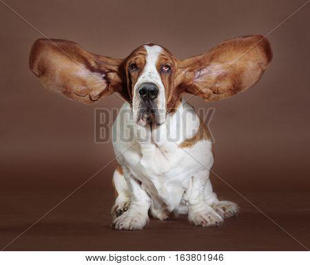 Basset hound dog jumping in the studio