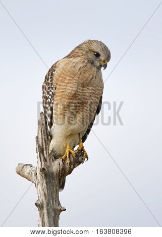 Red-shouldered Hawk Perched In A Dead Tree - Florida