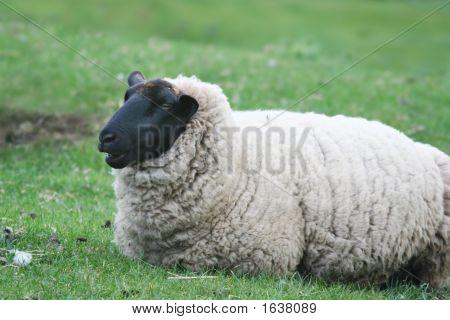 Black-Faced Suffolk Sheep