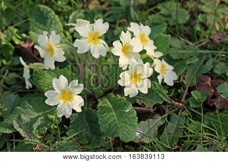 Bunch of primrose flowers in the Spring