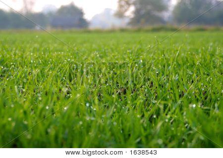 Dew On Grain