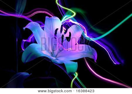 Flower a lily & night neon lights