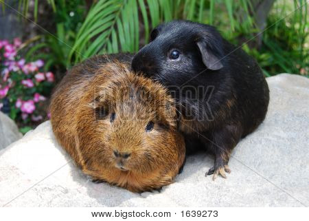 Male Guinea Pigs Bonding