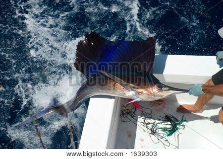 Sail Fish Coming Out