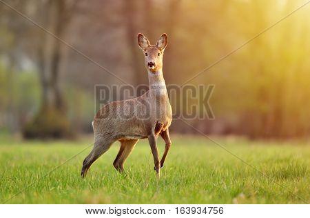 Wild roe deer in a field, lit by warm sunlight