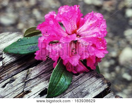 Rododendron flowers on wood. Annapeurna region Nepal