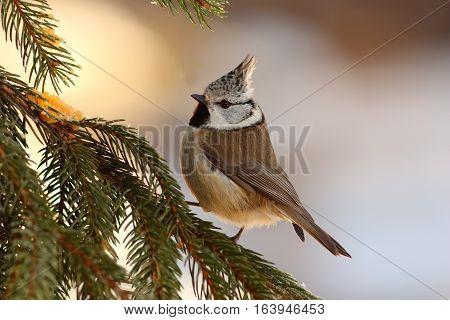 cute european crested tit sitting on fir tree ( Lophophanes cristatus )