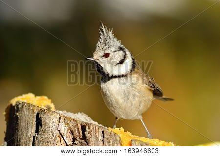funny european crested tit ( Lophophanes cristatus )