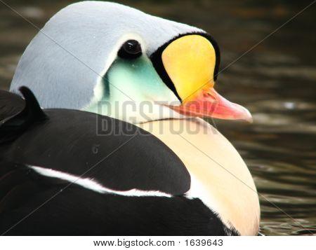 Male King Eider - Alaska