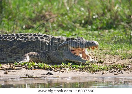 Crocodile on the Nile