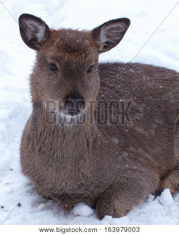 Young of a roe deer in winter
