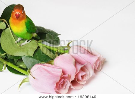 Lovebird and pink roses