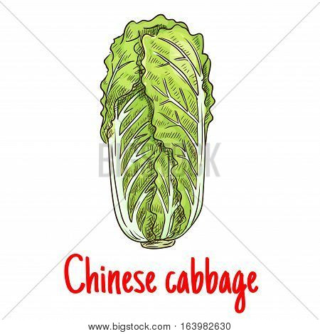 Chinese cabbage. Vector isolated sketch of napa leafy cabbage vegetable. Vegetarian lettuce cabbage salad product for for grocery shop emblem, product tag, label design