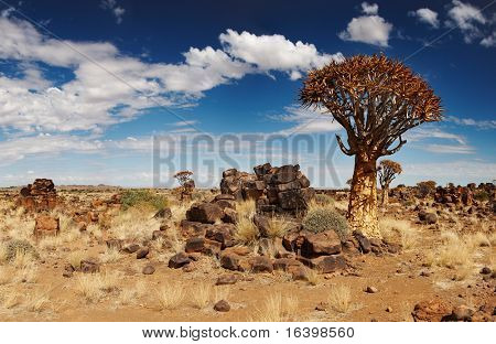 Landscape with quiver trees (Aloe dichotoma), South Namibia