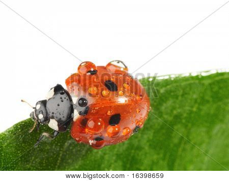Ladybug with water drops on green leaf isolated on white