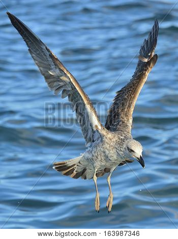 Flying Juvenile Kelp gull (Larus dominicanus) also known as the Dominican gull and Black Backed Kelp Gull. Natural blue water background of ocean . False Bay South Africa