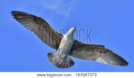 Flying Juvenile Kelp gull (Larus dominicanus) also known as the Dominican gull and Black Backed Kelp Gull. Blue sky background. False Bay South Africa