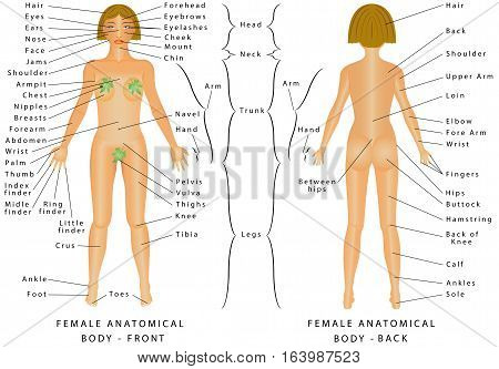 regions of female body. female body - front and back. female human, Human body