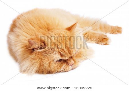 Sleeping cat isolated on white